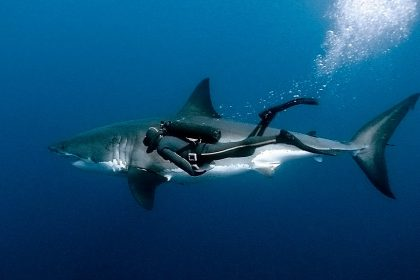 Как происходит дайвинг с акулами
